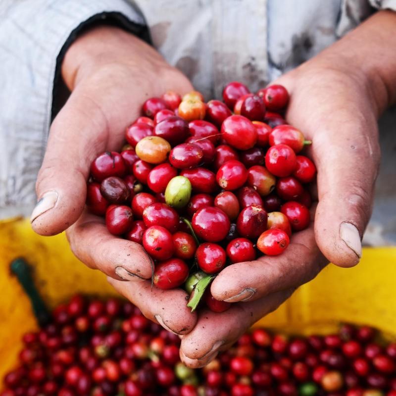 Rohkaffee aus naturnahem Anbau